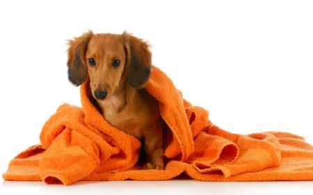 犬のシャンプータオルドライ