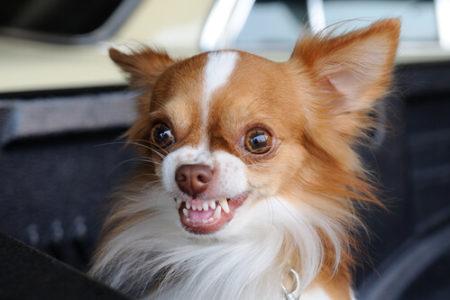 犬の口臭の原因歯の生え変わり