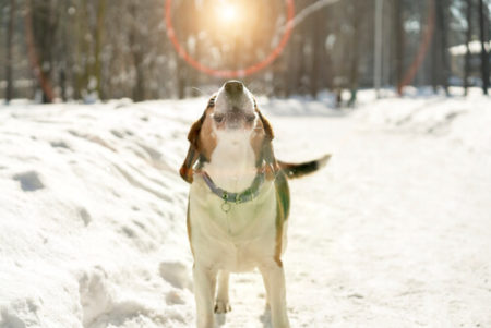 犬が寝言で遠吠えや吠える原因