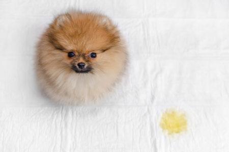 犬のトイレしつけ排泄物をそのままにしない