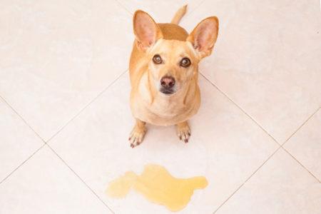 犬の分離不安対処法排泄を失敗したとき