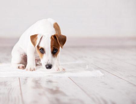 犬のトイレトレーニングのしつけ教室