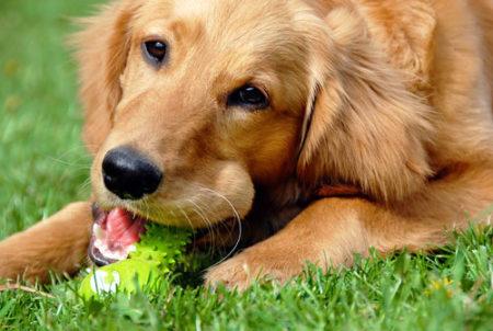 人気の大型犬ランキング1位:ゴールデン・レトリバー