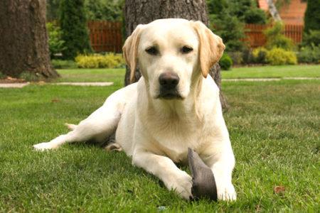 人気の大型犬ランキング2位:ラブラドール・レトリバー