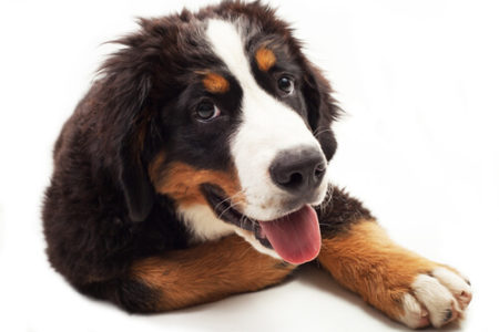 人気の大型犬ランキング3位: バーニーズ・マウンテンドッグ