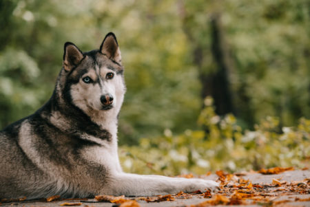 人気の大型犬ランキング4位: シベリアン・ハスキー