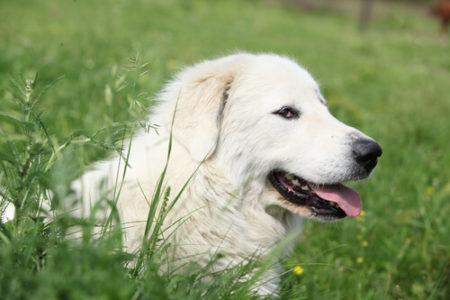 人気の大型犬ランキング5位:グレート・ピレニーズ