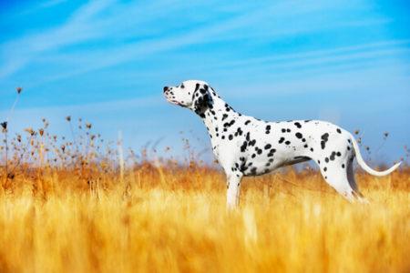 人気の大型犬ランキング7位: ダルメシアン