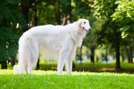 人気の大型犬ランキング8位: ボルゾイ