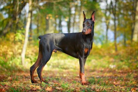 人気の大型犬ランキング9位: ドーベルマン