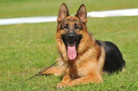 人気の大型犬ランキング10位: ジャーマン・シェパード