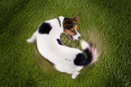 犬がしっぽを追いかける