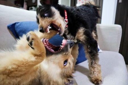 犬の甘噛みは本気噛みになる