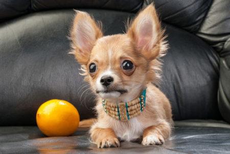 犬がレモンを食べた反応