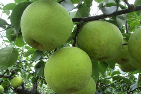 未成熟の梨は中毒